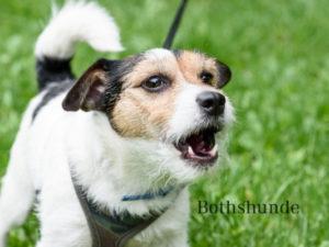 Leinenaggression, Hund pöbelt, Onlinekurs Hundetraining, online Hundetraining